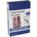 Анатомия человека. Иммунная, лимфатическая и эндокринная системы. 32 карточки